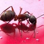 Carpenter Ant courtesy of NPMA