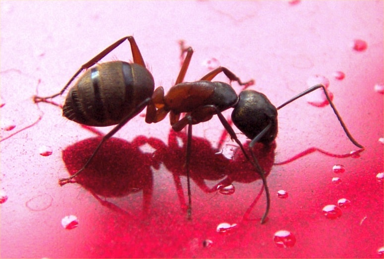 Carpenter Ants Sawdust Piles ~ Ants are number one reliable exterminators