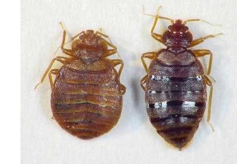 Bed Bug Look Alikes