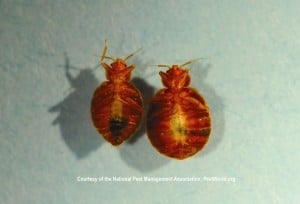 Male Female Bed Bug