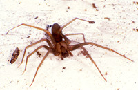 Brown Recluse Spider Courtesy of Purdue University